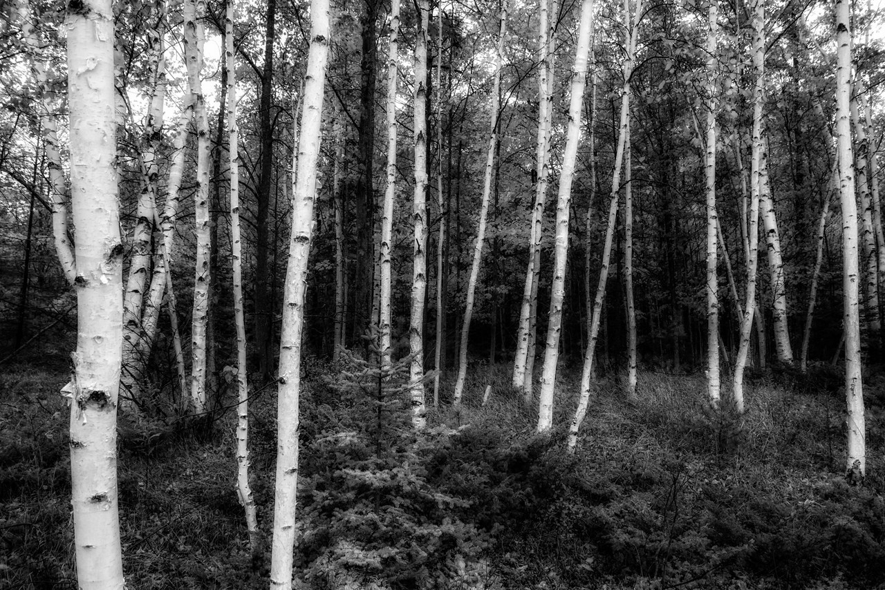 Birches In Black and White