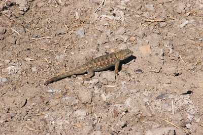 Lizard near Rabbithole Spring