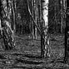 Birch, Brzoza, 2009