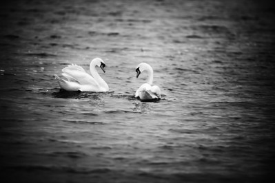 Two swans on Morse lake in Indiana.