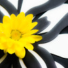 Black, White, yellow, daisies