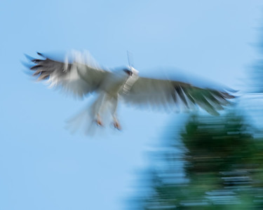 WHITE-TAILED KITE, IN OUR NEIGHBORHOOD.
