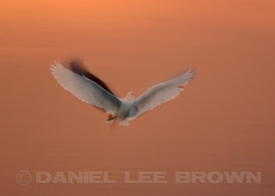 Snowy Egret, in-camera blur, Bolsa Chica, Orange Co, CA, 7-11-13. Cropped image .
