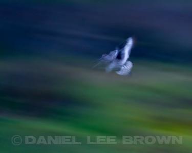 Willet, in-camera blur, Bolsa Chica, Orange Co, CA, 7-11-13. Cropped image .
