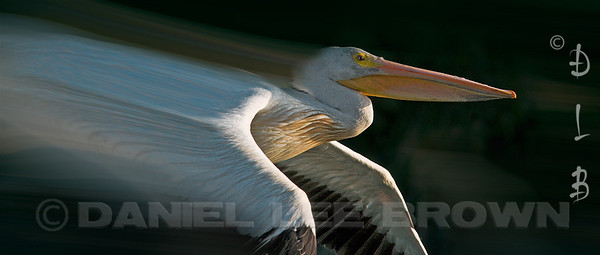 "American White Pelican, blurred using photoshop.  For purchase information and prices, click the ""BUY"" button."
