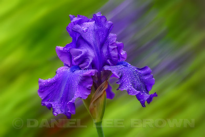 Bearded Iris, background blurred in-camera, added to sharp capture and then softened.