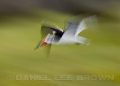 Black Skimmer, in-camera blur, Bolsa Chica, Orange Co, CA, 7-11-13. Cropped image .