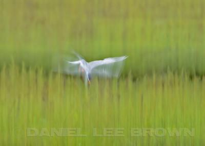 Forster's Tern, in-camera blur, Bolsa Chica, Orange Co, CA, 7-11-13. Cropped image .