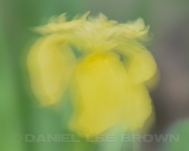 Yellow Flag Iris, in-camera blur + in-camera multiple exposure (2), American River Parkway, Sacramento Co, CA, 4-19-13. Cropped image.