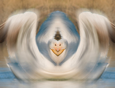 """White Pelican, flipped and twirled! Produced using photoshop.  For purchase information and prices, click the """"BUY"""" button."""