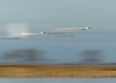 Tundra Swans, blurred using photoshop.