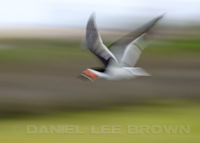 Black Skimmer, in-camera blur, Bolsa Chica, Orange Co, CA, 7-11-13. Cropped image .