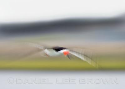 Black Skimmer,in-camera blur, Bolsa Chica, Orange Co, CA, 7-11-13. Cropped image .