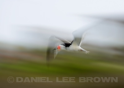 Black Skimmer,in-camera blur, Bolsa Chica, Orange Co, CA, 7-11-13. Cropped image .