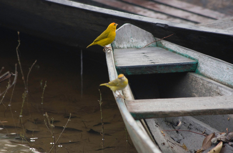 Brazil Yellow Birds edit1 2008-399