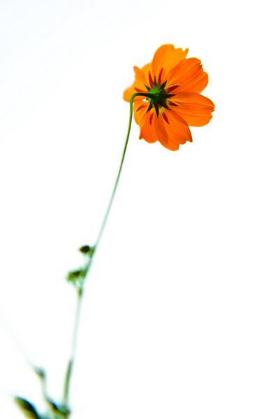 Evanston Flower, August 2008