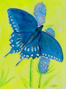 ADOPTED/Pakistan - Spicebush Swallowtail, 4.5x6, watercolor, march 16, 2016.