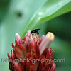 black belizian bee on a sticky bloom...