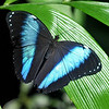 blue morpho (my best image from jan 2011 february 2011)