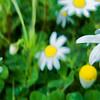 Daisy 11