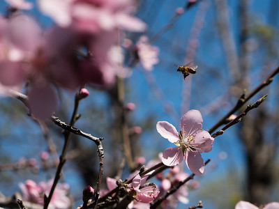 Bee Enjoying Cherry Blossoms, 2018.