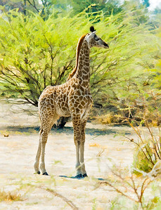 GiraffeCanvas-_DSC8267-Edit