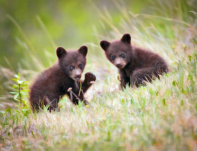 BearCubs_D3C0989-Edit-18x24-pntg