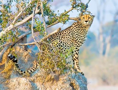 CheetahAnthill-_DSC7699-Canvas