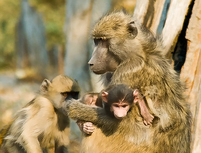 BaboonCanvas-_DSC7760-Edit