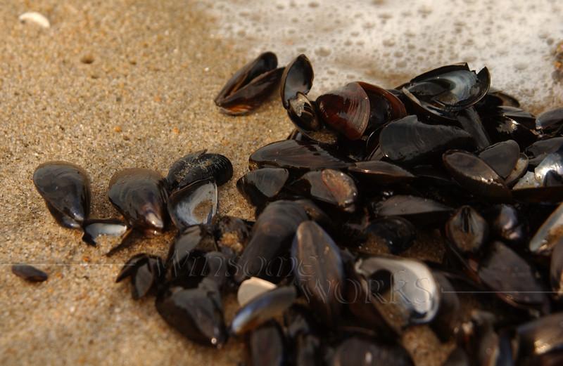 Mussel shells in Ocean Grove, New Jersey