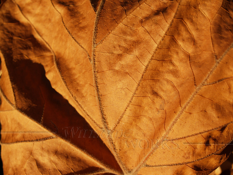 Dried sycamore leaf in Autumn - Quakertown, PA