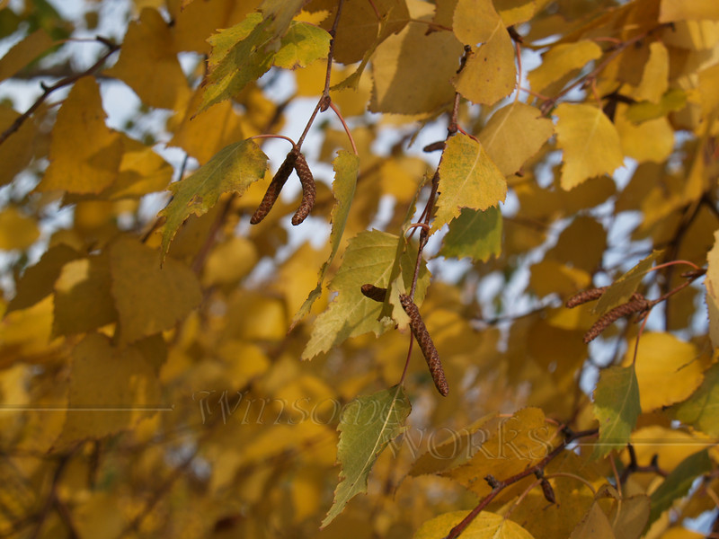 Paper birch leaves ? - Autumn, Quakertown, PA