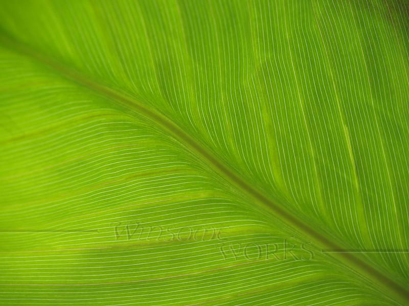 Banana Canna