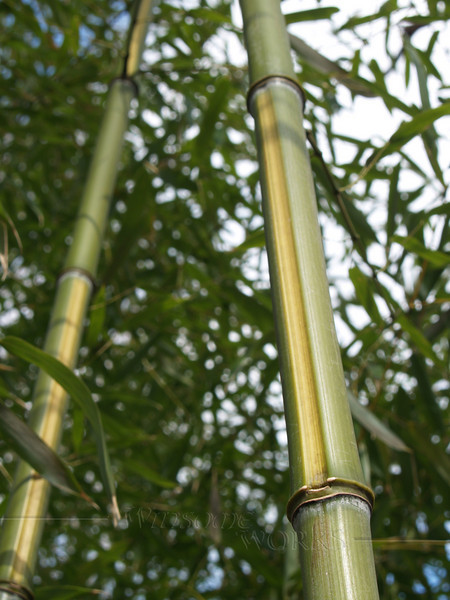 Bamboo growing in Sellersville