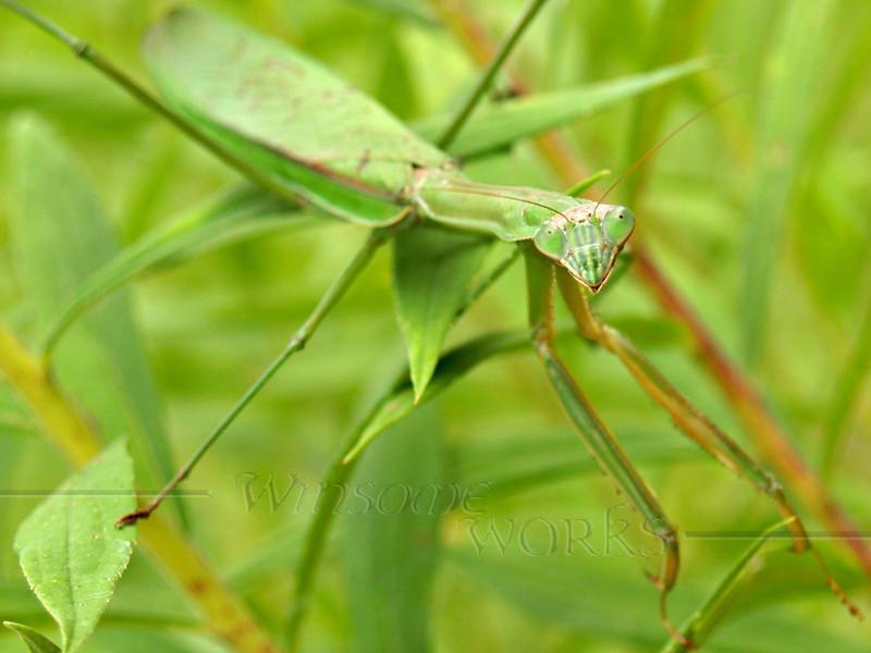 Praying Mantis in September; Quakertown, PA