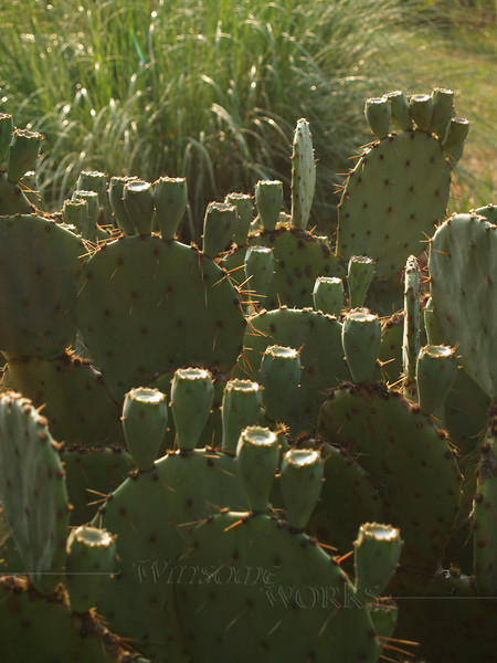 Prickly Pear Cactus, NC