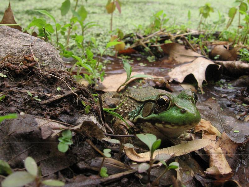 Frog in Marsh, Bowman's Hill