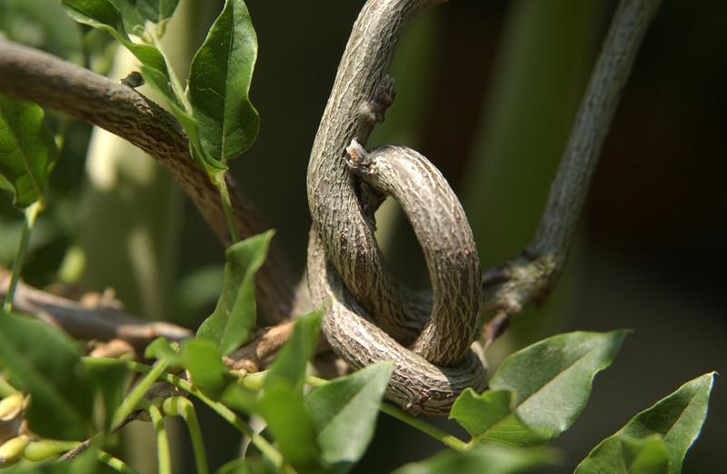 Knotted vine at Juanita's home, NJ