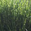 Zebra grass, Gilbertsville PA