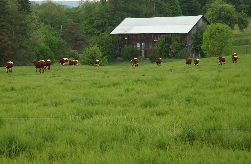 My Uncle Dan's Pinzgauer cattle in pasture