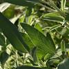 Sage closeup