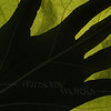 Catalpa leaf (Catalpa speciosa) backlit with hand silhouette
