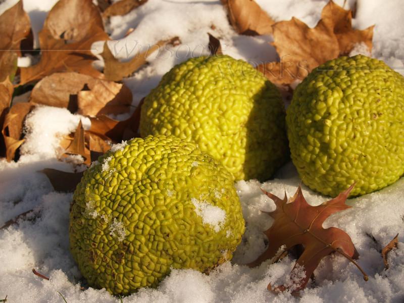 Osage orange fruits in winter, Quakertown PA