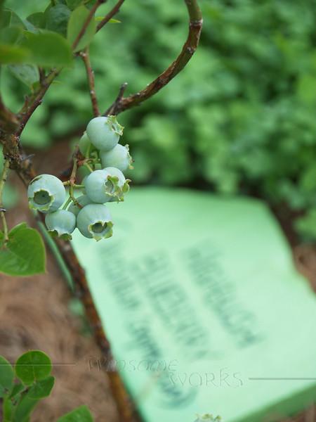 Highbush Blueberries; Maze Garden on 3rd St., Bethlehem PA