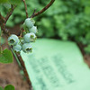 Highbush Blueberries; Maze Garden on 3rd St., Bethlehem PA