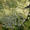 Queen Anne's Lace or wild carrot (Daucus carota) - Quakertown, PA