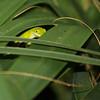 Chameleon hiding