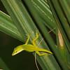 Chameleon on palmetto