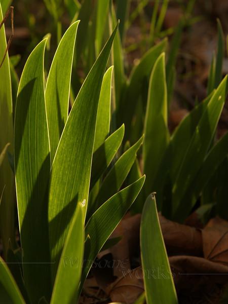 Iris foliage emerging in spring