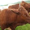 Dan's Pinzgauer cattle